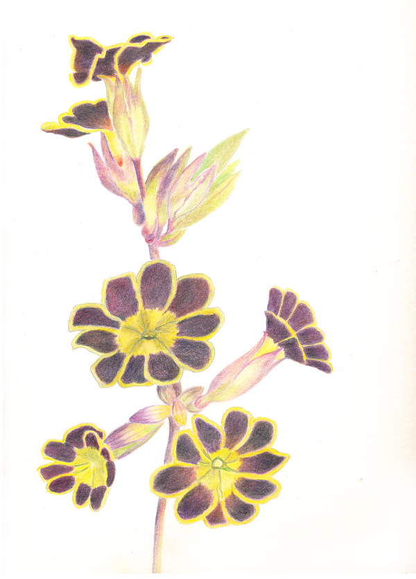 Primula. Original art by Christine Derrick